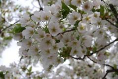 2011.4.17平安神宮⑤