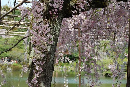 2011.4.17平安神宮⑧