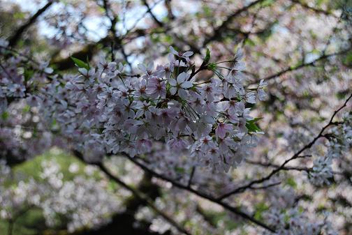 2011.4.17平安神宮⑨