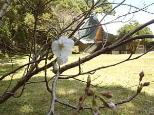 H24・桜