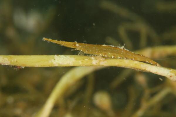 ヒラツノモエビ属の一種の2