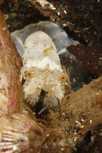 ヒメセミエビの幼体
