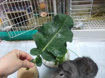 ブロッコリーの葉っぱ