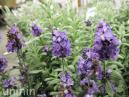 ラベンダー・アロマティコ(紫)