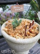アネモネ一重ポピー咲きの鉢