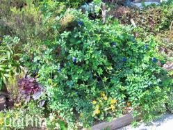 夏に植えた蝶豆爆発してます