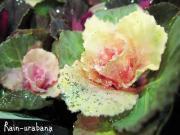 キラキララメラメ葉牡丹♪