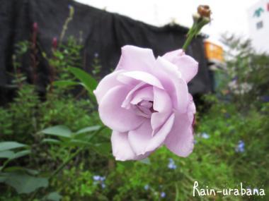 薔薇が咲いてました (^ ^;
