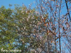彼岸桜が咲いてました (@ @;