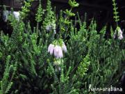 ブライダルヒース(ピンク花)