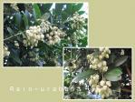 ストロベリーツリーの花が見頃です♪