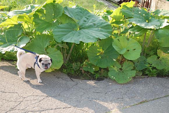 蕗の葉の大きさを見て!