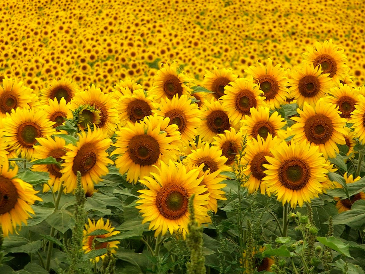 sunflowers2-13ob4e5.jpg