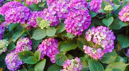 丸の内の紫陽花