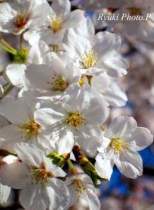 s 桜三つ池 縦