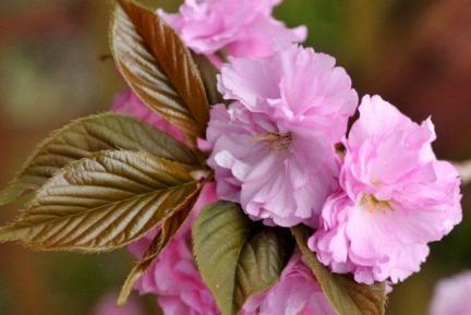 s 201204 自宅の八重桜