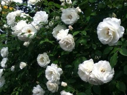 S 20120521 白いバラ2