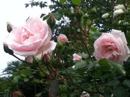 S 20120521 ピンクのバラ