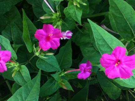 S20110711 松原 おしろい花
