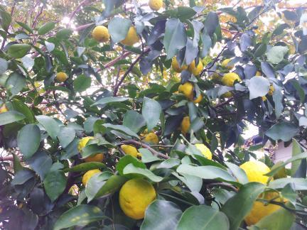 S20121109 黄色くなって来た柚子
