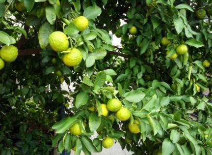 S20141020秋の柚子