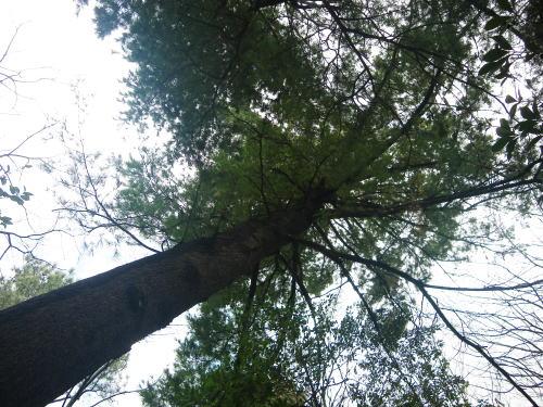 ユサンの木