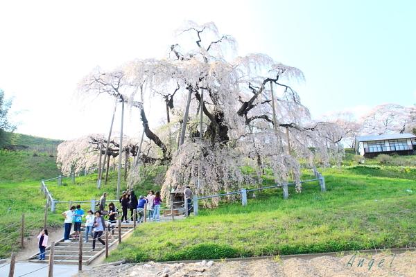 三春の滝桜(32)