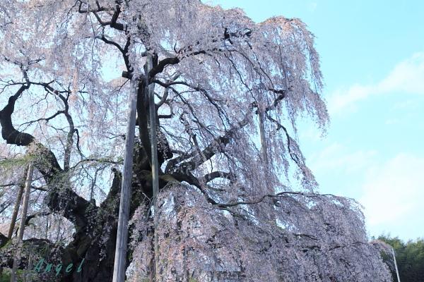 三春の滝桜(25)