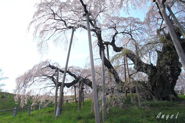 三春の滝桜(22)