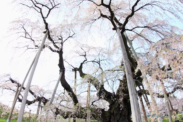 三春の滝桜(19)