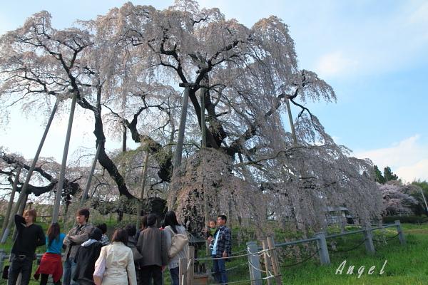 三春の滝桜(2)