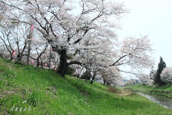 夏井川千本桜(139)