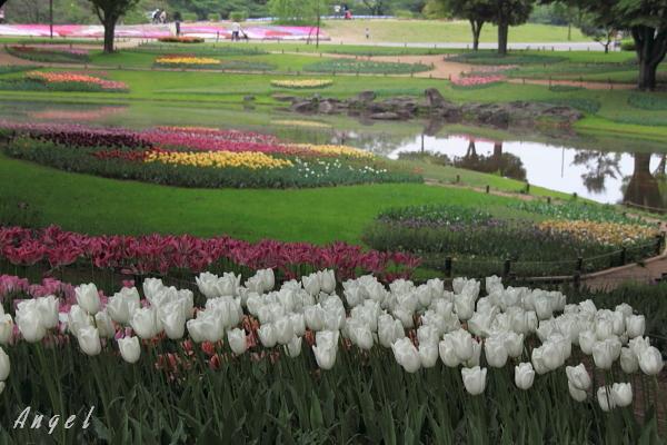 昭和記念公園のチューリップ(193)
