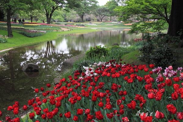昭和記念公園のチューリップ(94)