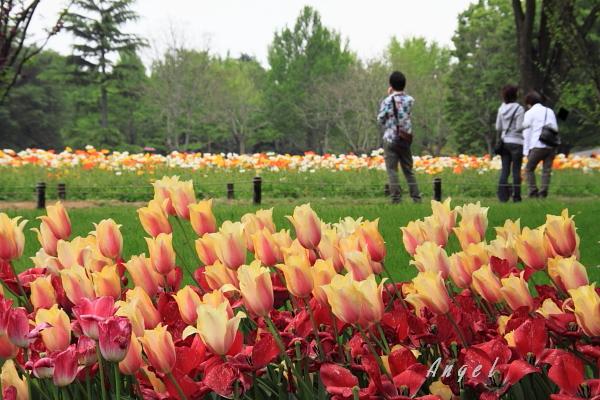 昭和記念公園のチューリップ(104)