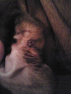 皮膚組織球種(治療中)