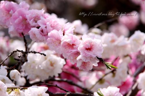 ももの花2011