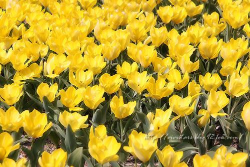 チューリップ黄色~♪