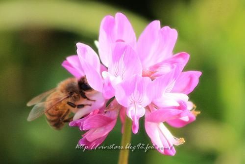 蓮華とハチ