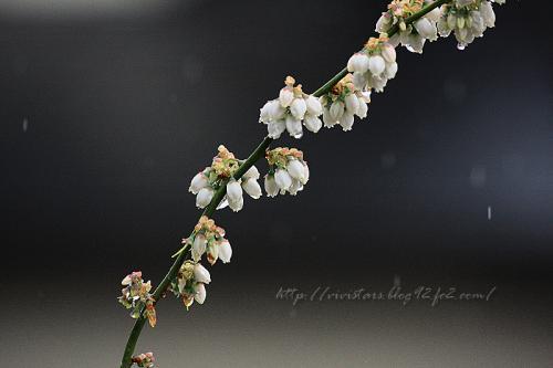ブルーベリー花01