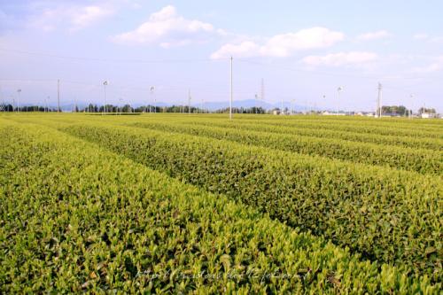 茶畑201105