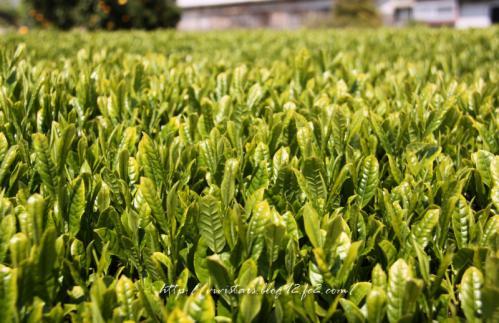 茶畑201104