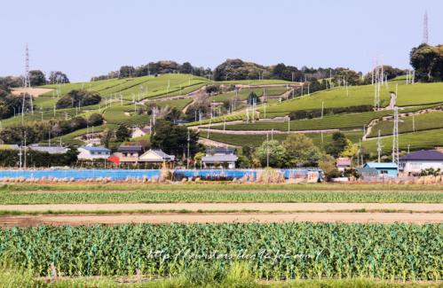 茶畑201102
