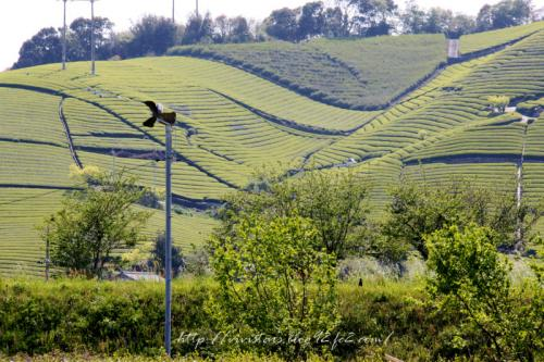 茶畑201101