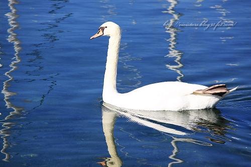白鳥の海02