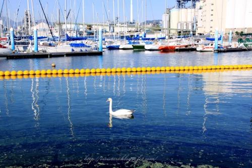 白鳥の海01
