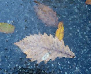 アスファルトに凍りつく落ち葉