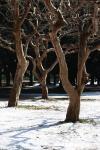 1.代々木公園:サルスベリ-03D 1102q