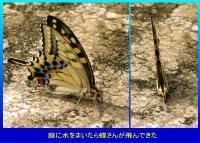 水をまいたら飛んできた蝶