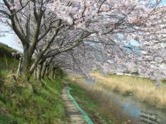 2011sakura10.jpg